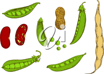 Roasted peanut in shell, fresh pods of sweet pea and common bean with green and red spotted grains. Wholesome vegetables and legumes colored sketches for kitchen interior or organic farming design usa