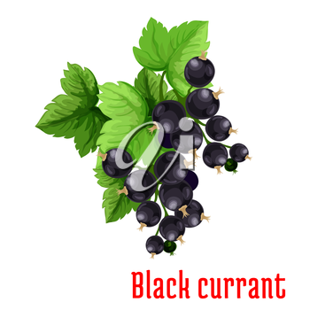 Black currant berries. Isolated bunch of blackcurrant on stem with leaves. Fruit and berry product emblem for juice or jam label, packaging sticker, grocery shop tag, farm store