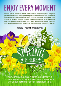 Spring is here poster of blooming flowers and bunch of yellow daffodils or narcissus and white lily of valley or crocuses on meadow grass. Vector floral design for springtime holidays