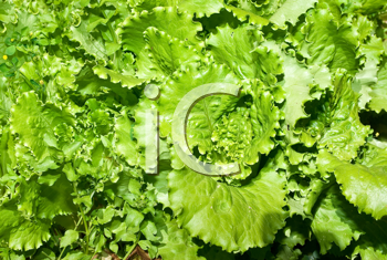 Royalty Free Photo of Green Lettuce
