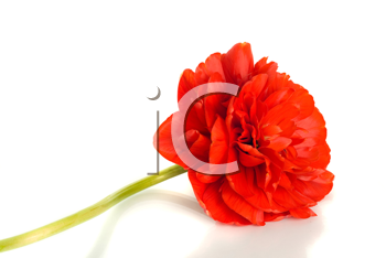 Red tulip Flower bud isolated on white background