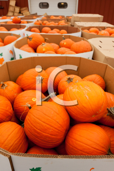 Royalty Free Photo of Pumpkins at Market