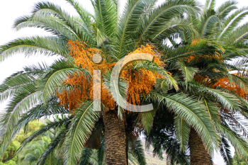 palm tree with seeds