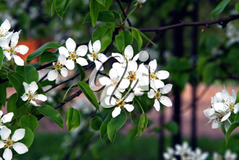 beautiful white flowers of blossoming tree