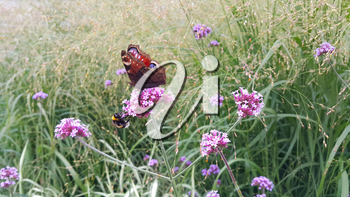 Butterfly and bee sitting on a beautiful lilac flower in summer