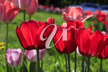 Beautiful bright red and pink spring tulips glowing in sunlight, close-up