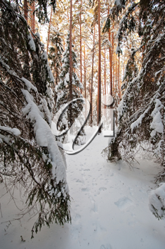 Royalty Free Photo of a Forest in Winter