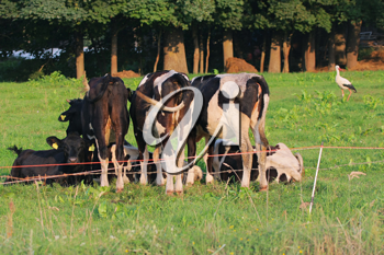 Royalty Free Photo of Grazing Cows