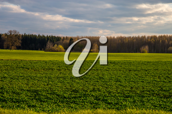 Green field with cereal and forest on the back, against a blue sky. Spring landscape with cornfield, wood and cloudy blue sky. Classic rural landscape in Latvia.