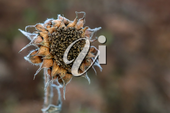 Background with deflorate sunflower. Sunflower in autumn day. Withered sunflower. Frozen sunflower on gray field in Latvia. Closeup of deflorate, withered sunflower.