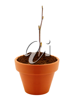 small branch with buds in clay pot isolated on white background.