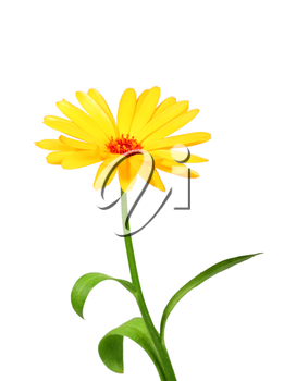 One orange flower of calendula. Isolated on white background. Close-up. Studio photography.