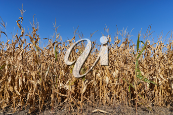 Dry field of ripe corn against a bright blue sky. Dried and unripe field of corn
