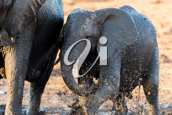 African elephants playing in the mud, in the wilderness