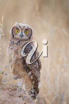 Owl in the wilderness of Africa