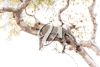 leopard resting on tree in the wilderness of Africa