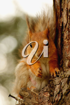 Royalty Free Photo of a Squirrel in a Tree