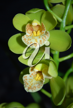 Royalty Free Photo of Two Orchids