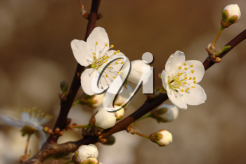 Royalty Free Photo of Apple Blossoms