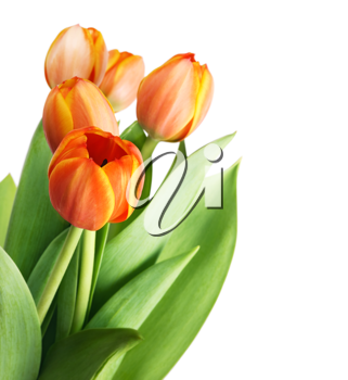 Beautiful orange tulips isolated on white background.Shallow focus