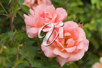 Beautiful pink rose on the green natural background.Shallow focus