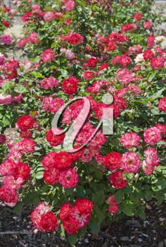 beautiful rose bush as floral background