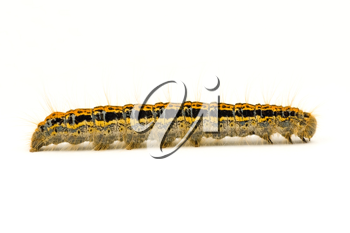 Royalty Free Photo of a Caterpillar