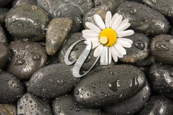Royalty Free Photo of a Daisy on Stones