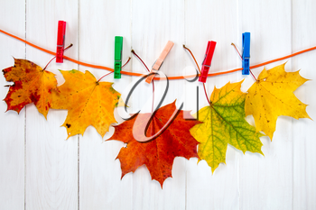 Autumnal maple leaves hanging on rope with clothes-pegs
