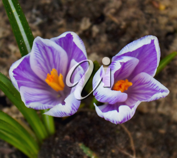 Two crocus flowers in soil