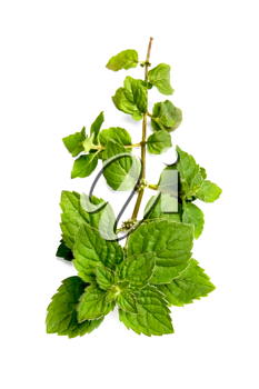 A green sprig of mint isolated on white background