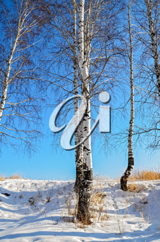 Birches on the background of snow, blue sky and yellow dry grass