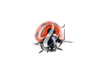 Royalty Free Photo of a Ladybug