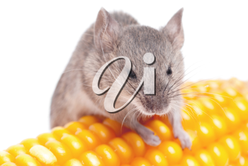 Royalty Free Photo of a Mouse With Corn