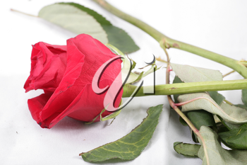 Macro shot of a withered red rose threw in the floor.  Concept of termination of relationship.