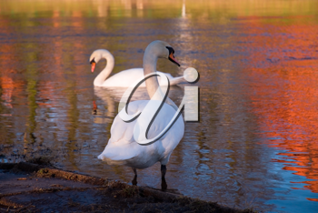 Royalty Free Photo of Swans