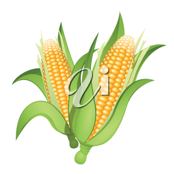 Royalty Free Clipart Image of Two Ears of Corn