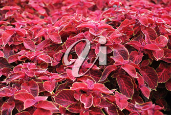 Close-up of flame nettle (coleus bumei) leaves