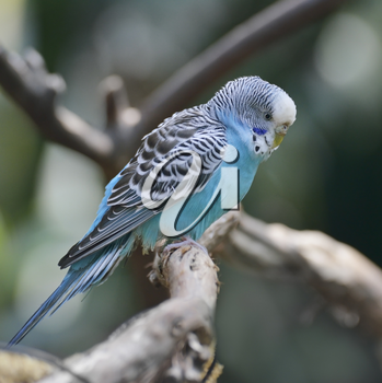Blue Budgerigar Perching On A Branch