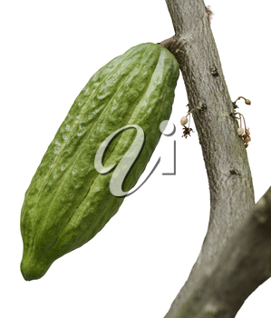 Cocoa Tree With Fruits Isolated On White Background