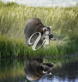 Raccoon  On Grassy Bank With Reflection