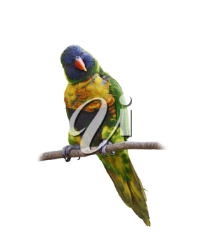 Colorful Parrot (Rainbow Lorikeet), Perching ,Isolated On White Background