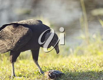 American Black Vulture eating a fish in Florida Wetlands
