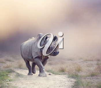 black rhinoceros walking in the grassland