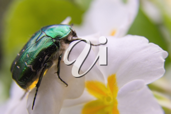 The Flower Chafer is a beautiful shiny emerald green and quite large beetle.