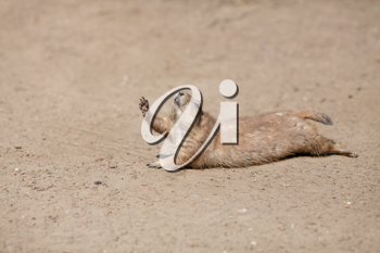 Royalty Free Photo of an Animal in the Desert