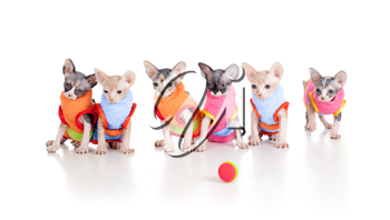 Royalty Free Photo of Hairless Kittens in Sweaters