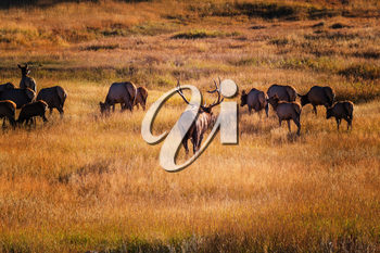 Wild elks grazing on a meadow in the Rocky Mountain National Park, Colorado, USA