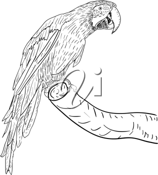 Royalty Free Clipart Image of a Macaw