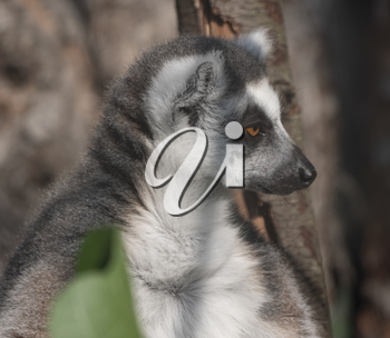 Ring-tailed Lemur Lemur catta sits under a tree and looks away.